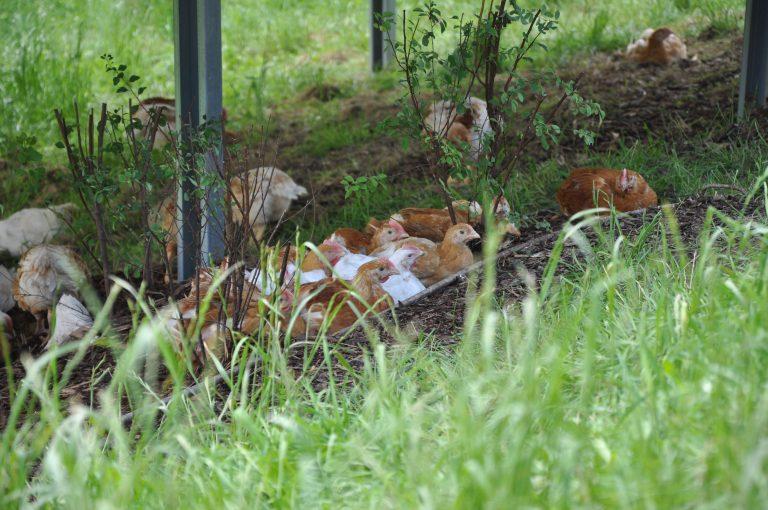 Glückliche Hühner unter PV_©tierschutzkonform.at