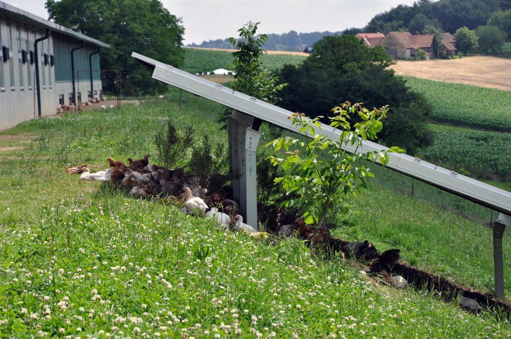 Huehner nutzen Schutz der PV ©tierschutzkonform.at | Photovoltaik Österreich